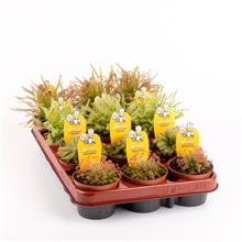 Plantes carnivore